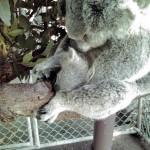 コアラ親子で居眠り
